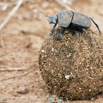 Kumbang Tinja