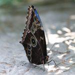 Menengok Kupu-kupu Bidadari dari Bantimurung