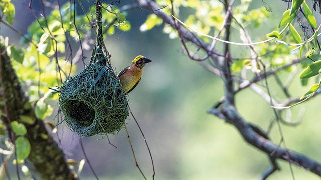 Burung Manyar Jambul
