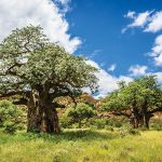 Pohon Baobab