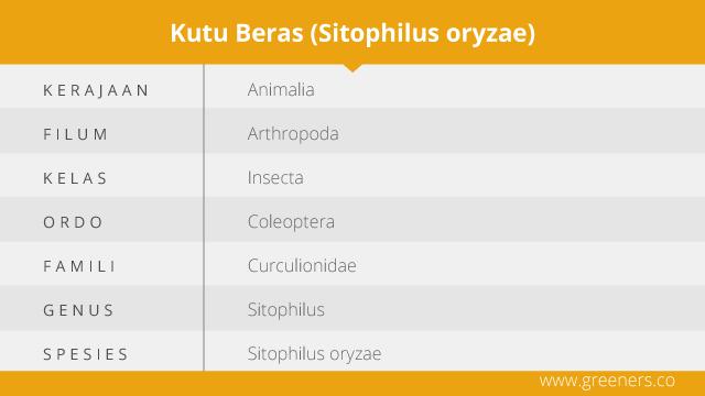 Taksonomi Kumbang Beras