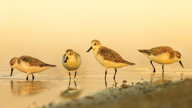 Pakar Burung Soroti Perlindungan Burung Bermigrasi