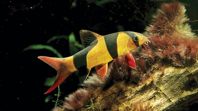 Botia Badut, Ikan Gemas Asli Indonesia