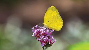 Kupu-Kupu Kuning, Si Cerah Indikator Kualitas Alam