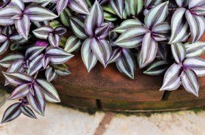Rumput Belang, Tanaman Obat dari Meksiko