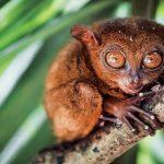 Tarsius Barat, Si Mata Bola Endemik Sumatra