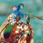 Udang Mantis, Satwa Laut Mirip Belalang yang Tinggi Protein