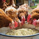 Bahaya resistensi antimikroba atau (Antimicrobial Resistance/AMR) pada hewan ternak.