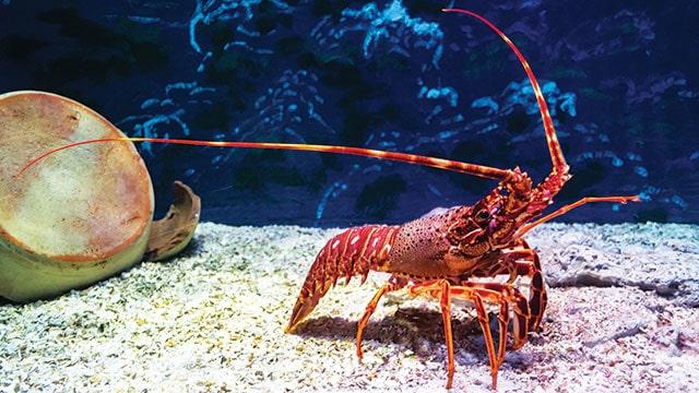 Skandal korupsi benih lobster: lobster merah.