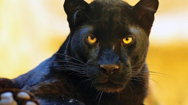 Perbedaan harimau dan macan.