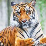 Perbedaan Harimau dan Macan