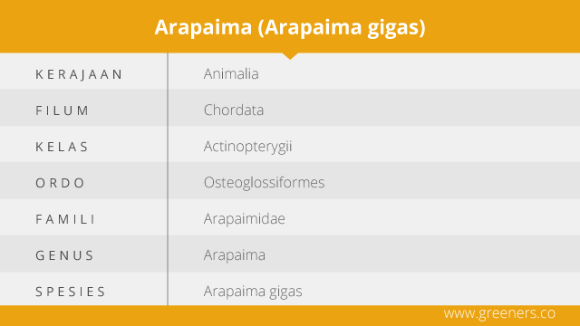 taksonomi arapaima