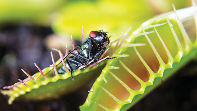 Tanaman karnivora Dionaea muscipula