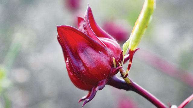 Foto rosella, si merah yang penuh khasiat.