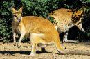 Walabi Papua, Sepupu Kanguru yang Rentan Diburu