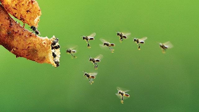 Foto lebah tanpa sengat, lebah trigona