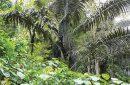 Pohon Aren, Asal Rasa Manis dari Minuman Boba