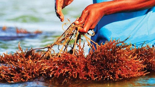 biopac rumput laut