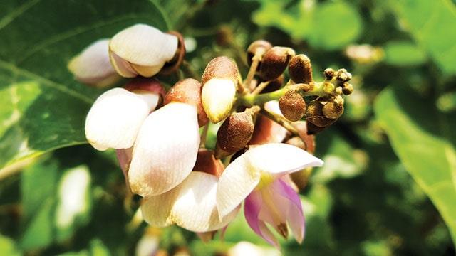 buah malapari