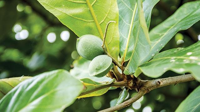 buah pohon ketapang