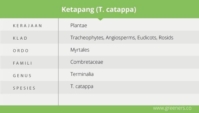 taksonomi pohon ketapang