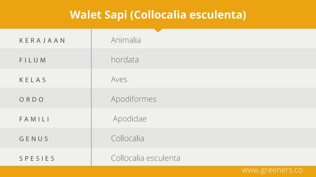 taksonomi walet sapi