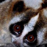 Biodiversity Kukang Jawa - Greeners