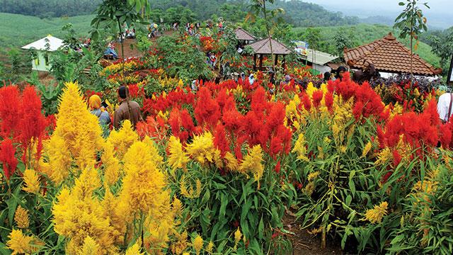 bunga celosia