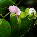 bunga pohon merbau