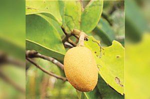 buah ramin