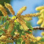 bunga pohon rasamala