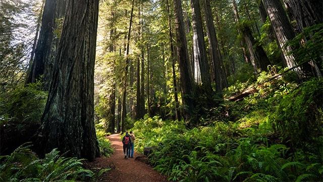 redwood pesisir