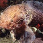 snailfish transparan