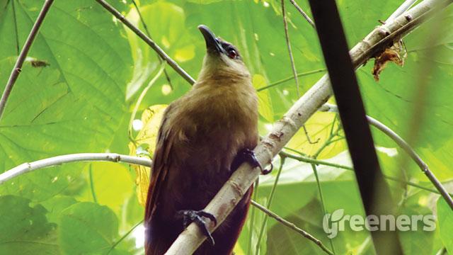 Burung Bubut Pemakan Serangga Yang Mirip Seperti Elang