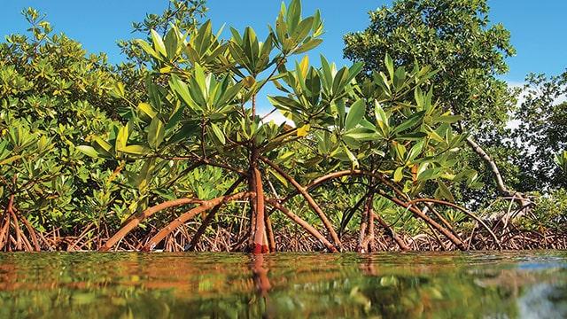mangrove di indonesia