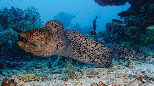 belut laut