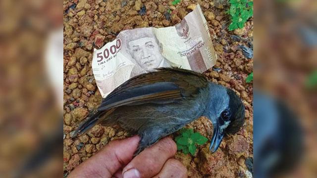 burung pelanduk kalimantan