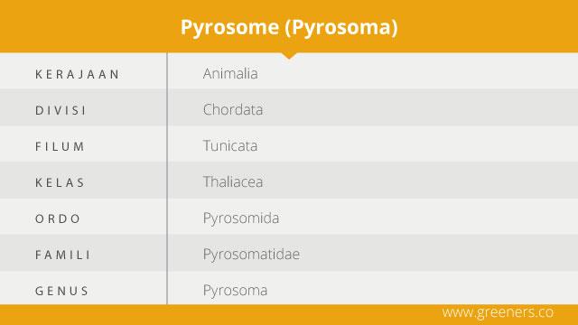 takasonomi pyrosome