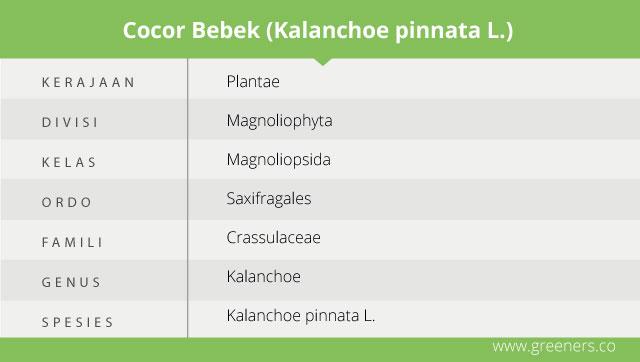 taksonomi cocor bebek