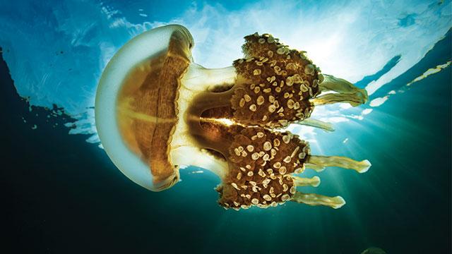 ubur-ubur mastigias papua