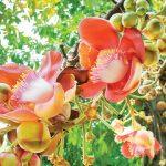 Pohon Meranti, Penghasil Kayu Berkualitas dan Berbuah Unik