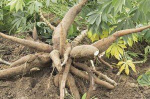 Tanaman Singkong, Flora Asli Brazil yang Dicintai Warga Indonesia