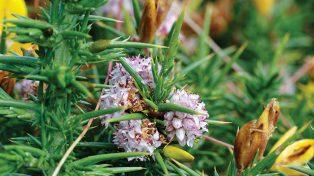 Flora Cuscuta